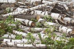 Mucchio di vecchi ceppi dell'albero di betulla del taglio Fotografia Stock Libera da Diritti