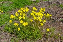 Mucchio di wildflower giallo luminoso in primavera Fotografie Stock Libere da Diritti