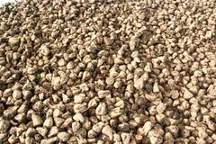 Mucchio enorme delle barbabietole da zucchero, Francia Fotografie Stock Libere da Diritti