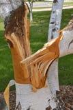 Mucchio spaccato della betulla dopo una tempesta Fotografia Stock Libera da Diritti