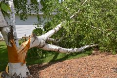 Mucchio spaccato della betulla dopo una tempesta Immagini Stock Libere da Diritti