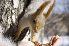 So much appetizing nuts!. (squirrel Royalty Free Stock Photo
