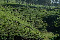 Green tea plantations in Munnar, Kerala, India stock image
