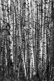 Much birch trunks Stock Photo