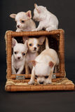 Much Chihuahua puppys play to cart Royalty Free Stock Image