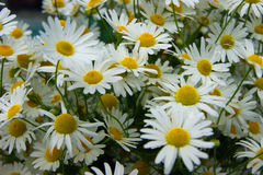 Much flowers of the daisywheel Stock Photo