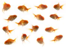 Much goldfish Royalty Free Stock Images