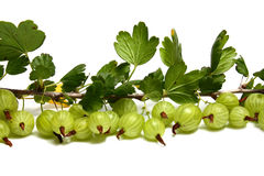 Much gooseberry on a brunch with leaves. Isolated on white background Stock Image
