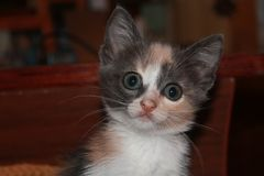 Little kitten is looking at you royalty free stock photo