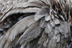 Mucha avestruz empluma el fondo Foto de archivo