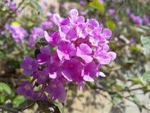 Mucha flor rosada en un país asiático del jardín en primavera en día soleado Fotos de archivo libres de regalías