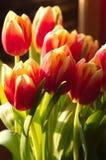 Mucha vertical roja y amarilla del primer de los tulipanes Foto de archivo