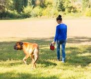 Muchacha adolescente que camina con el perro Bullmastiff Fotos de archivo