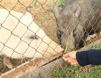 Muchacha con los cerdos Fotos de archivo