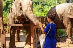 Muchacha con los plátanos en sus alimentaciones de mano un elefante en el santuario adentro Foto de archivo