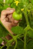 Muchacha de la mano cerca de los tomates inmaduros Imagen de archivo libre de regalías