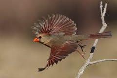 Muchacha de la sol (cardenal septentrional) fotos de archivo