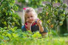 Muchacha de Lttle que recoge los tomates de la cosecha en jardín imagen de archivo libre de regalías
