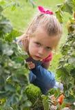 Muchacha de Lttle que recoge los tomates de la cosecha en jardín foto de archivo libre de regalías