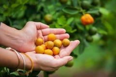 Muchacha del jardinero que lleva a cabo puñados de kumquat maduro en árbol de kumquat imagen de archivo