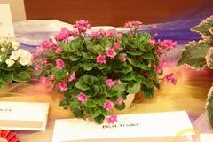 Muchacha del jersey del remolque de la violeta africana Foto de archivo libre de regalías