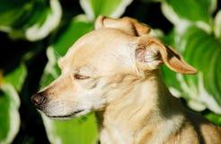 Muchacha del terrier de juguete Foto de archivo