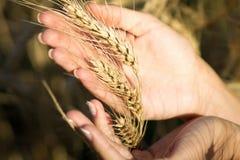 Muchacha hermosa joven en el campo con los oídos en la mano Fotografía de archivo libre de regalías