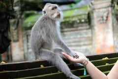 Muchacha hermosa que celebra las manos con el mono en el bosque de los monos en Bali Indonesia, mujer bonita con el animal salvaj foto de archivo libre de regalías