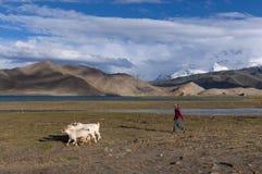 Muchacha joven del sheperd de Uyghur con las cabras en el lago karakul en China del noroeste Foto de archivo