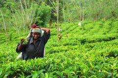 Muchacha joven del Tamil en la plantación de té Foto de archivo