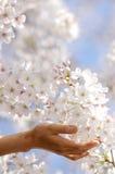 Muchacha para sostener el flor de cereza en una mano. Imagen de archivo libre de regalías