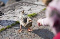 Muchacha que alimenta un pato Fotos de archivo