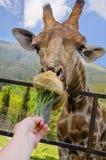 Muchacha que alimenta una hierba de la jirafa, parque zoológico en Crimea imágenes de archivo libres de regalías