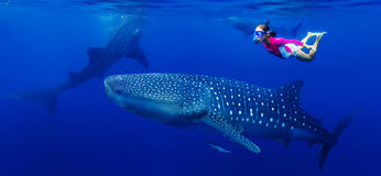Muchacha que bucea con el tiburón de ballena Imagenes de archivo