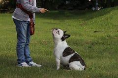 Muchacha que entrena a su dogo francés en un parque foto de archivo libre de regalías