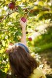 Muchacha que escoge una manzana Imagen de archivo libre de regalías