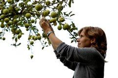 Muchacha que escoge una manzana en blanco Imagenes de archivo