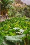 Muchacha que hace la foto de las plantas de un loto en valle verde enorme en la parte inferior de una montaña Santo Antao Cabo Ve Foto de archivo