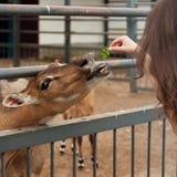 Muchacha que introduce un ciervo joven Imágenes de archivo libres de regalías