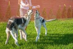 Muchacha que juega con dos perros de galgo ruso del ruso de la raza Copie el espacio imagenes de archivo