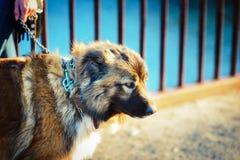 Muchacha que juega con el perro de pastor caucásico, otoño Foto de archivo