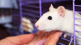Muchacha que juega con la rata blanca almacen de metraje de vídeo