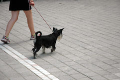Muchacha que recorre con su animal doméstico Fotografía de archivo libre de regalías