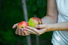 Muchacha que sostiene manzanas rojas y verdes a disposición Manzana femenina de la cosecha de la mano del árbol foto de archivo
