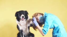 muchacha que toca la pata enferma de un perro de la raza Fondo amarillo aislado metrajes