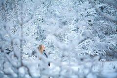 Muchacha rubia joven atractiva que camina en mujer bonita del bosque del invierno en el invierno al aire libre Ropa del invierno  Fotos de archivo