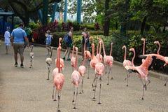 Muchachas que toman imágenes de los flamencos que caminan entre gente en el parque temático de Seaworld imagen de archivo