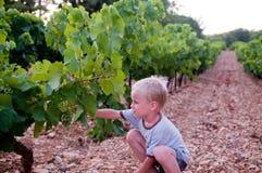Muchacho joven que cosecha la uva Foto de archivo