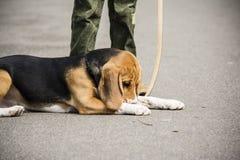 Muchacho que camina con el beagle imagenes de archivo