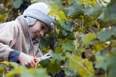 Muchacho que cosecha la uva Imágenes de archivo libres de regalías